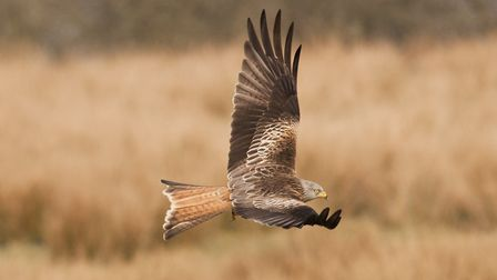 Red kite at NWT Cley Marshes. Pic by Chris Mills.