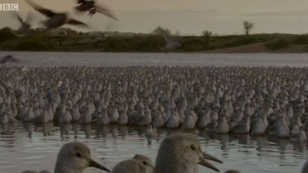 A flock of knot birds take flight at high tide on the Wash Estuary in Snettisham in Tuesday's episod