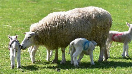 Quadruplet lambs have been born on a farm in Hulver near Beccles.PHOTO: Nick Butcher
