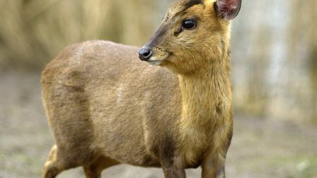 A munjac, like the deer which ran into a shop in Lynn today. Picture: Archant library