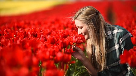 A field of tulips in full flower, between East Winch and Gayton. Pictured is Jess Green. Picture: Ia