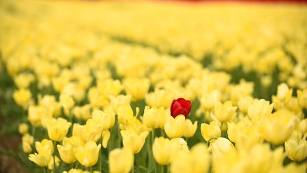 A field of tulips in full flower, between East Winch and Gayton. Picture: Ian Burt