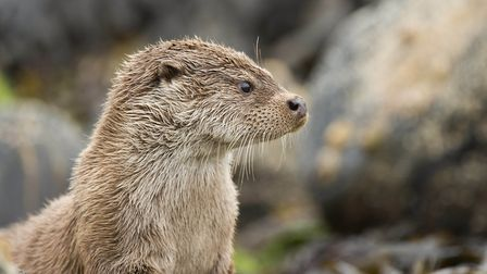 An otter. Picture: Josh Jaggard