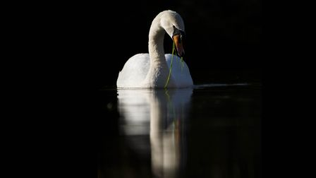 A photo of a swan by Josh Jaggard. Picture: Josh Jaggard