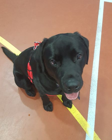 Max the Labrador had to have an operation to remove part of a dog toy and 20cm of his intestines