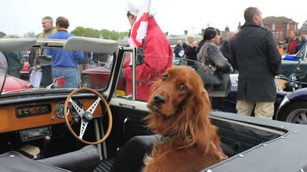 A red setter checks out the competition at a previous year's NNCVC St George's Day run. Picture: KAR