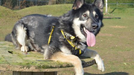 Ben, who is at Dogs Trust Snetterton and is looking for a permanent home. Picture: DOGS TRUST SNETTE