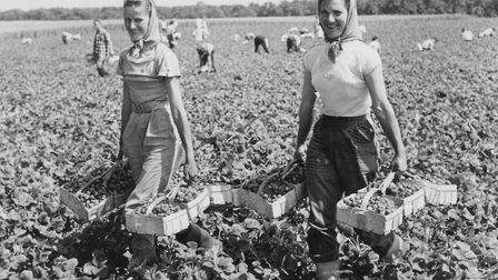 Sisters Kathleen and Edith Byars, two of a 100 workers who were picking Brenda strawberries at the r