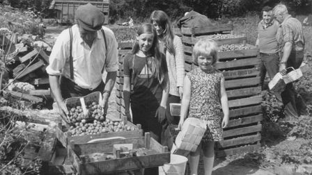 Strawberry pickers having berries weighed and sorted. This picture was taken on August 23 1977. Pict