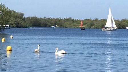 A swan found with a fishing hook through its tongue is reunited with its mate on Ranworth Broad. Pic