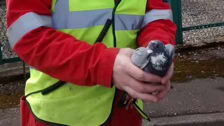 A crew member with the pigeon. Picture: RSPCA