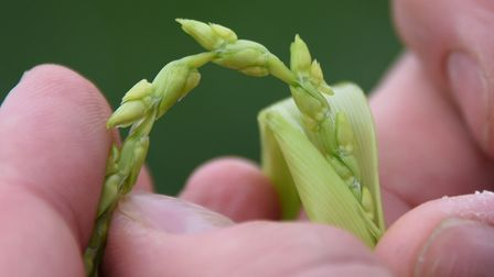 A wheat stem where the grain is formed. Picture: DENISE BRADLEY