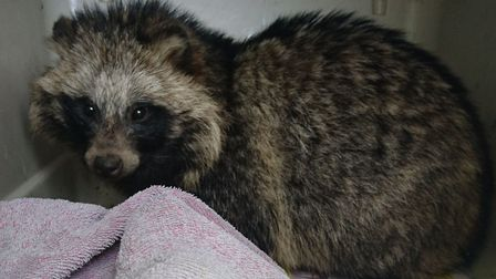 The raccoon dog found in Boston. Picture: RSPCA