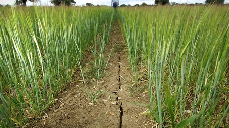 Picture taken in 2011 of crops in a field in south Norfolk to illustrate the drought caused by the i