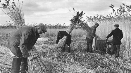 Reed harvesting at Ranworth on Mr. Francis Cators estate. The reeds are being cut with the aid of a
