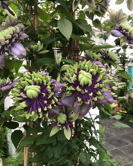 Clematis Taiga launched by Thorncroft Clematis. Picture: Thorncroft