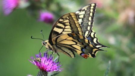 Swallowtail Butterfly. Picture: Trevor Taberham, citizenside.com