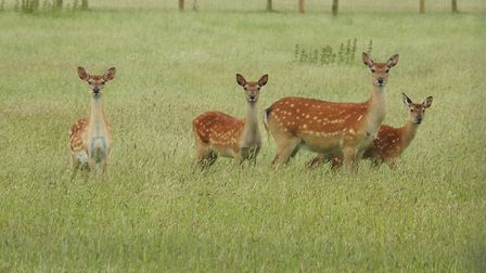 Deer at Houghton Hall. Picture: Paul Reynolds