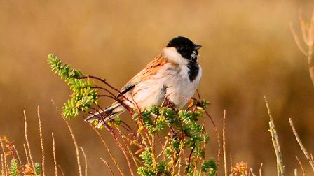 Male reed bunting at RSPB Titchwell. Picture: David Thacker