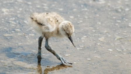 Avocet chick at Titchwell. Picture: Peter Gibson