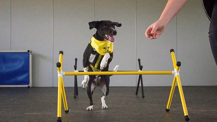 A hound showing off their skills at Dogs Trust Snetterton's training barn which is celebrating its f