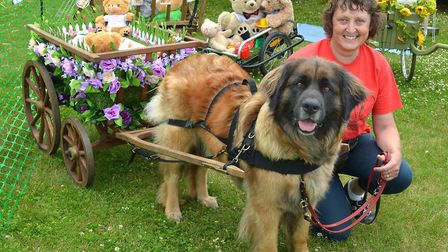 Strut Your Mutt 2017 event. Leonburger German Carting Dog Display. Pictures: Mick Howes