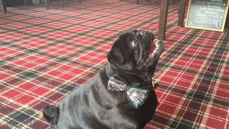 Captain the pug on his birthday. Picture: David Hannant