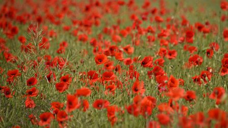 A poppy field in its red splendour at Ver-Sur-Mer in Normandy. Picture: DENISE BRADLEY
