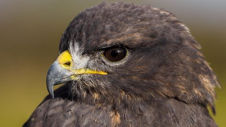 Fens Falconry will put on a show at Gresham's in Holt. Picture: Gresham's
