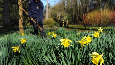 Volunteers with Friends of Thetford Forest tending the daffodils at Lynford Arboretum. Picture: SONY