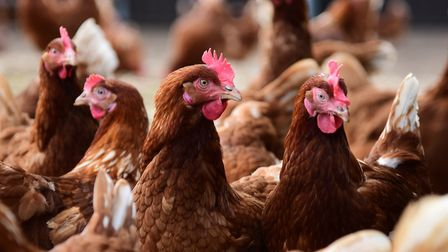 Chickens at a farm in East Anglia. Picture: DENISE BRADLEY