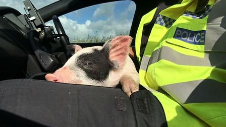 The piglet rescued from the A47. Picture Twitter/PCSteveLee
