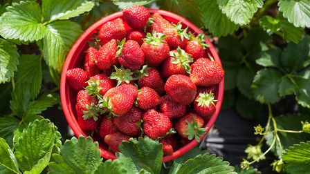 Now's the time to go out picking strawberries. Picture: Getty Images/iStockphoto
