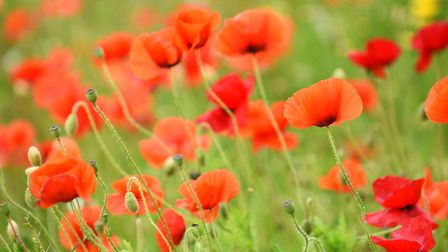 A field of poppies growing next to The Lizard in Wymondham. Picture: Ian Burt