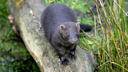 The American mink. Picture: Norfolk Mink Project