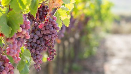 Grapes hang in the town of Agrigento, Sicily. Picture: Getty Images/iStockphoto