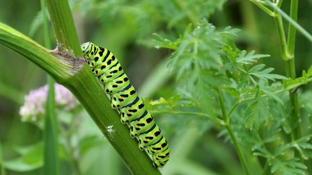 A swallowtail caterpillar at Hickling Broad. Picture: Rod Horne