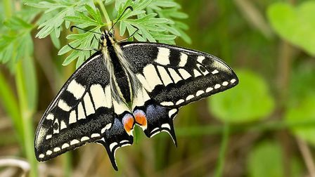 A swallowtail butterfly at Hickling Broad. Picture: David Rounce
