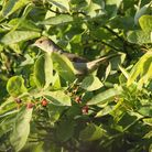 Welcome visitor: Aidan Semmens took this picture of a female blackcap in his garden.