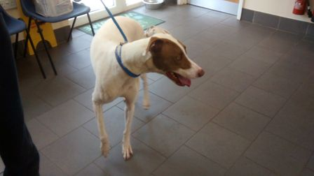 The brown and white greyhound-cross was rescued from a car after he was left in 31C heat for almost