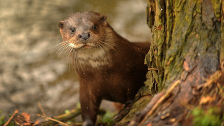 Otter: One of East Anglia's 'Big 5' species, according to Simon Barnes.