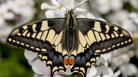 Swallowtail: Only found on the Broads.