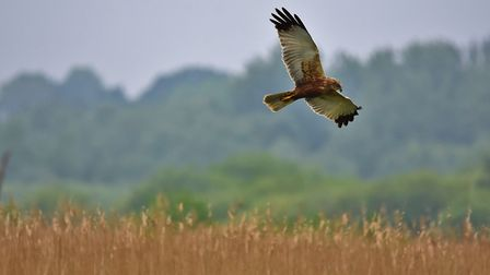 The comeback king: A marsh harrier in flight at Strumpshaw Fen.