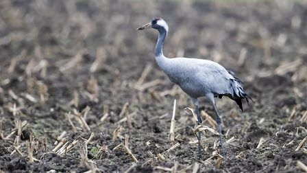 The common crane is one of Europe's largest birds, but is making a comeback in East Anglia after cen