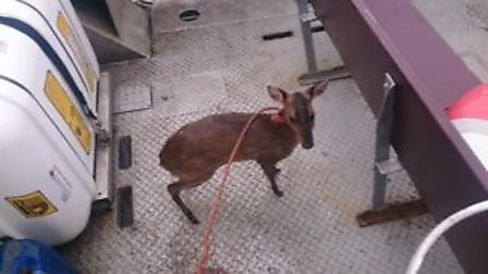 The muntjac on board Wizzy. Picture: Roger Tipple