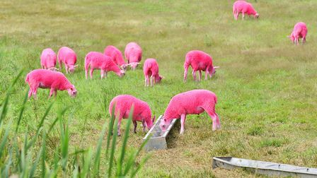 The festival is famous for its pink sheep. Picture: James Bass