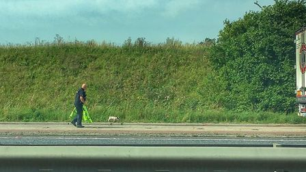 Norfolk Police were spotted saving the bacon of piglets running along the A47. Picture: David Richar