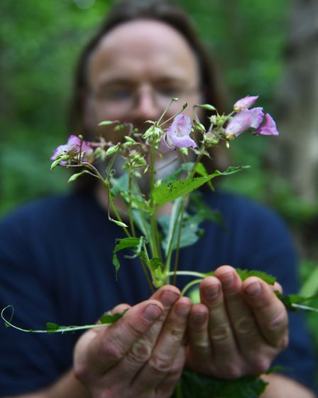 Himalayan Balsam in Bawdeswell Heath. Conservation volunteer Mark Webster with the plant. Picture :