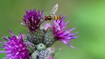Hover Fly on a thistle flower. Photo: Lydia Taylor