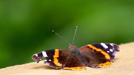 A rather ragged Red Admiral Butterfly. Photo: Lydia Taylor